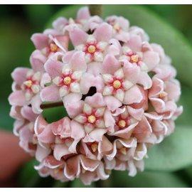 Hoya carnosa compacta -Krinkle Kurl-