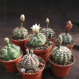 Assortment Gymnocalycium