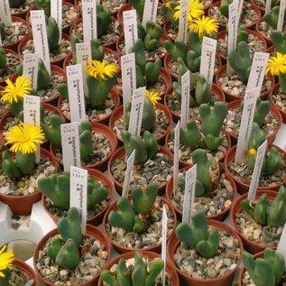 Conophytum bilobum v. G