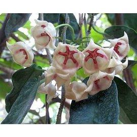 Hoya archboldiana  cv. Big White Flower
