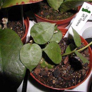 Hoya aff. diptera