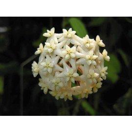 Hoya cagayanensis
