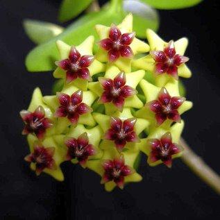 Hoya densifolia  GPS 3079