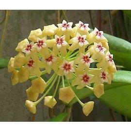 Hoya dolichosparte   cv. Yellow Flower