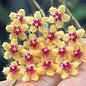 Hoya flagallata cv. Yellow Flower
