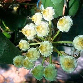 Hoya imbricata cv. Green Leaves