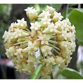 Hoya incrassata  cv. Margin Variegata