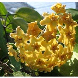 Hoya kenejiana  cv. Variegata