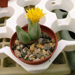 Conophytum bilobum v. O