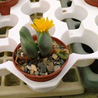 Conophytum bilobum v. V