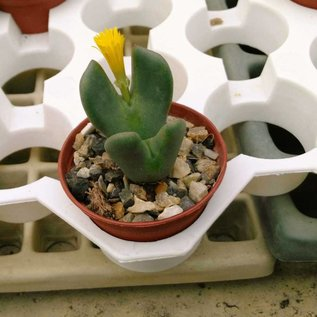 Conophytum bilobum v. W