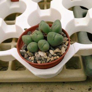 Conophytum bilobum var. 1