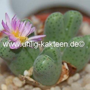 Conophytum tantillum eenkokerense