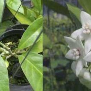 Hoya magnifica