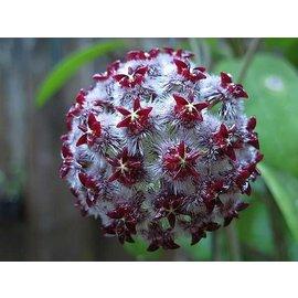 Hoya mindorensis  cv. Dark Red-White Flower