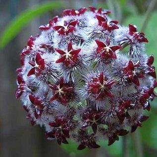 Hoya mindorensis cv. Dark Red-White Flower UT 042
