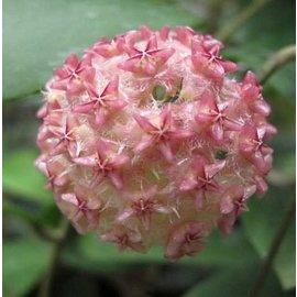 Hoya mindorensis  cv. Pink Flower