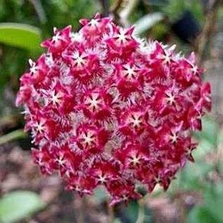 Hoya mindorensis cv. Purple Star