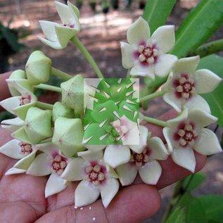 Hoya obtusifolia