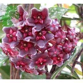 Hoya pubicalyx  cv. Royal Hawaiian