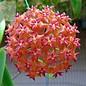 Hoya valmayoriana