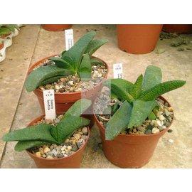 Gasteria brevifolia