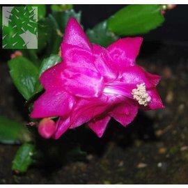 Schlumbergera-Hybr. Esperito Brasil