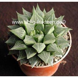 Haworthia emelyae  v. multiflora