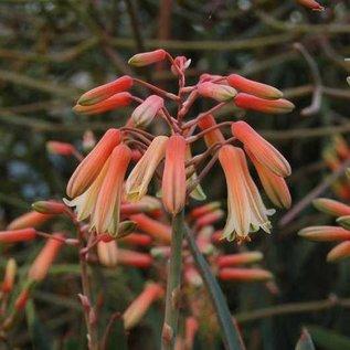 Aloe parallelifolia   Hochgebirge   CITES, not outside EU