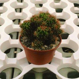 Cereus peruvianus  monstruosus cv. Brauner Felsenkaktus