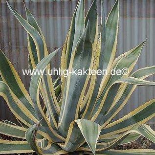 Agave americana cv. Marginata