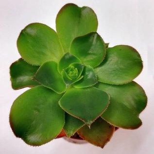 Aeonium calderense