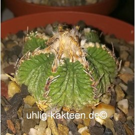 Aztekium ritteri rootless! XXL CITES, not outside EU
