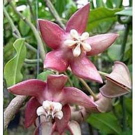 Hoya imperialis  cv. Pink Big Flower