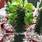 Euphorbia ingens monstrosa