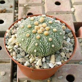 Astrophytum asterias  Seeigelkaktus    CITES