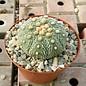 Astrophytum asterias  `Seeigelkaktus`    CITES