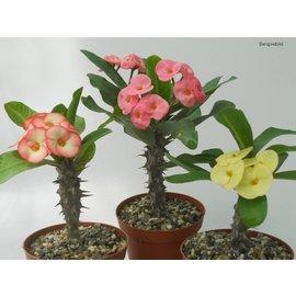 Euphorbia milii gama híbridos grandiflora Thai