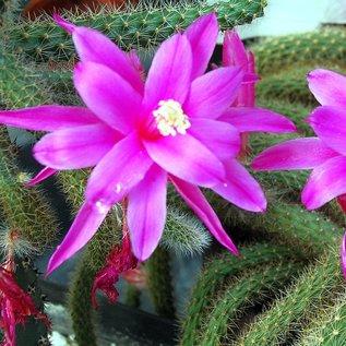Aporocactus flagelliformis-Hybr. Rolfs Schöne