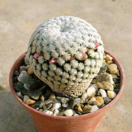 Mammillaria pectinifera      CITES, not outside EU