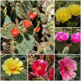 Assortment of hardy Opuntia
