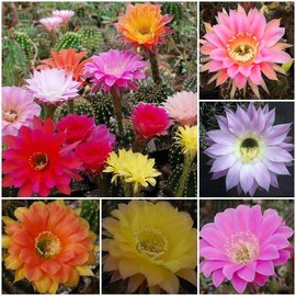 Assortment Echinopsis hybrids