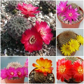 Assortment Sulcorebutia