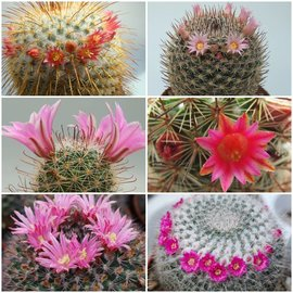 gamme Mammillaria