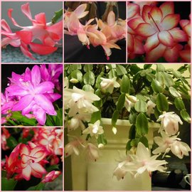 Assortment Schlumbergera