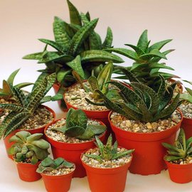 Assortment Gasteria