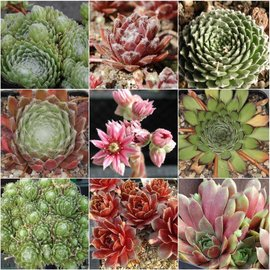 assortiment Sempervivum