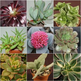 Assortment Crassula and Aeonium