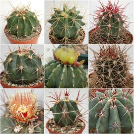 Assortment Ferocactus
