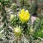 Cylindropuntia whipplei   Archuleata Co., CO, 1951 m     (dw)